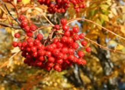 Рябина красная в моем саду