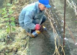 Чем опрыскать виноград перед зимовкой