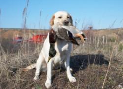Охота − собачья работа