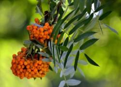 Можно ли сажать рябину в плодовом саду?