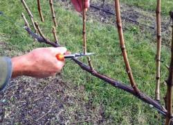 Когда обрезать виноградную лозу