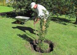 Когда лучше пересадить дерево