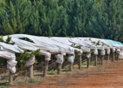 Сорта винограда, которые не замерзнут
