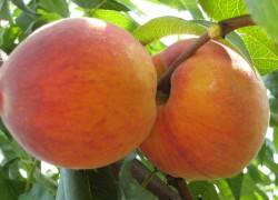 Как сформировать сочный персик