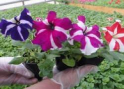 Как вырастить качественную рассаду петунии