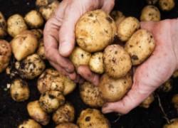 Запасаемся семенным картофелем с осени