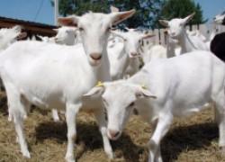 Кетоз у коз: как распознать и как лечить