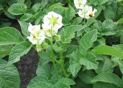 Как картофельная ботва удобрила малину