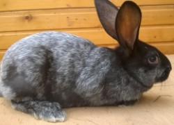 Почему мой кролик чешется