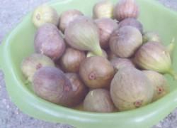 Ставропольский инжир прекрасно плодоносит