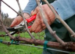 Обрезка винограда в вопросах и ответах