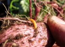 Берегись проволочника на картофеле