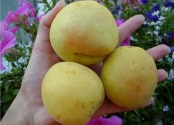 Бывают ли абрикосы белыми?