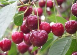 Карликовые вишни