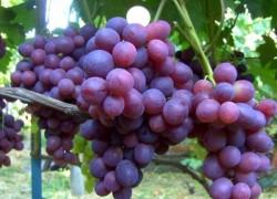 Каждая гроздь − по три килограмма