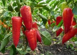 Сладкие перцы − как конфеты