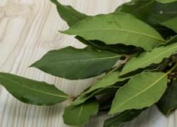 Выращиваем лавровый лист на подоконнике
