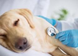 Опасно! отравление этиленгликолем собак