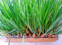 Почему зеленый лук не зеленый (желтеет раньше времени)