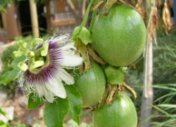 Пассифлора: и цветок, и еда