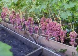 Стимуляторы для черенкования винограда