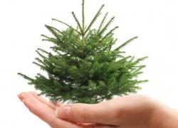 Как сохранить елку после нового года и высадить ее в сад