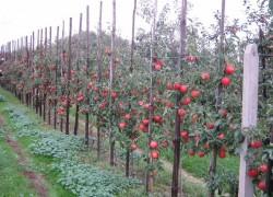 Что такое интенсивный сад?