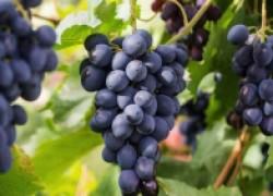 Идеальный винный сорт