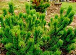 Спасите свои хвойные деревья от собак