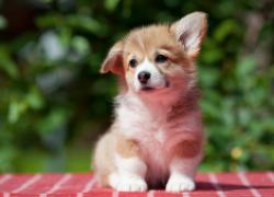 Проблемы с суставами у щенка