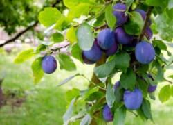 Не рассчитывайте на природу – сажайте самоплодные сливы