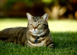 Защитите свою мурку от кошачьего спида