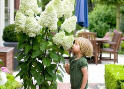 Весной обязательно посадите гортензию лаймлайт