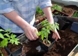 Выдаем секреты качественной рассады помидоров