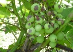 Экспресс-диагностика  заболеваний винограда