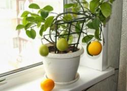 Спасите мои перцы и лимоны