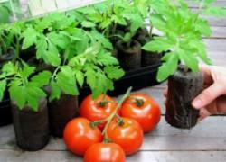 Что нужно для качественной рассады помидоров