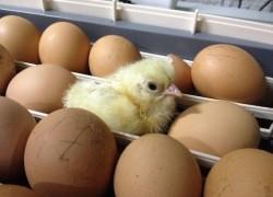 Дарю советы по инкубации цыплят