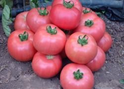 Сорта помидоров, которые обязательно надо посадить в 2018 году