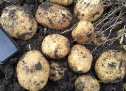 Спасите картошку от картофельной моли