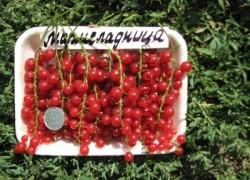 Смородина мармеладница всегда даст урожай