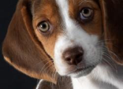 Железобетонные правила покупки породистой собаки