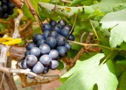 Бактериологические препараты на винограднике