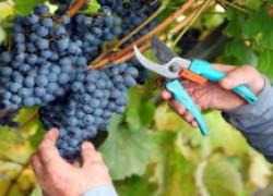 Уроки прошедшего виноградного сезона