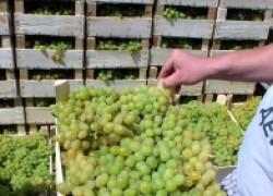 Какой виноград выращивают для продажи