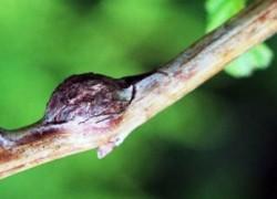 Зимняя ревизия, или Самые опасные болезни и вредители малины