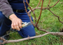Омолаживание кустов винограда