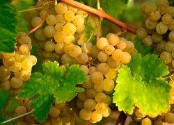 Вернисаж – золотистый сорт винограда и другие