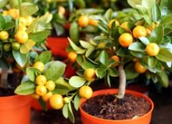 Выращиваем мандарин или лимон из косточек