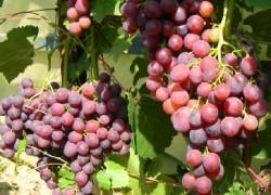 Лепсна на винограднике